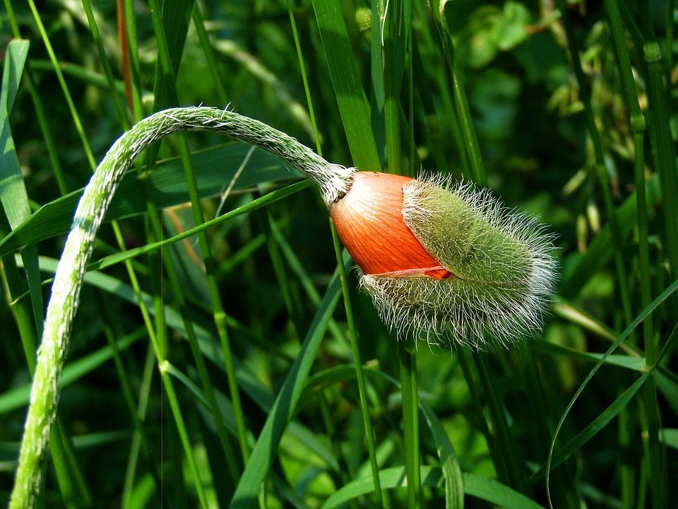 ポピー 花のつぼみ 夏 花 オレンジ