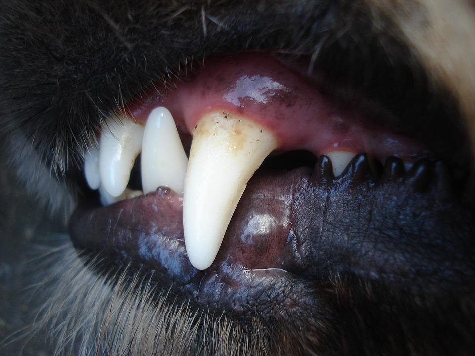 Cani, Baring, Dente, Denti, Fang, Cane