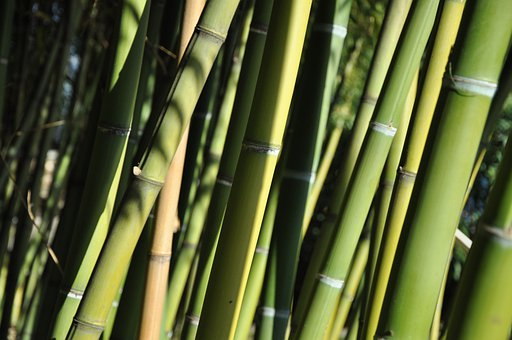 Bamboo, Ticino, Brissago Islands, Plant