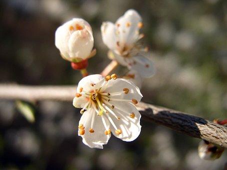 Fleur, Blanc, Arbuste Fleurs
