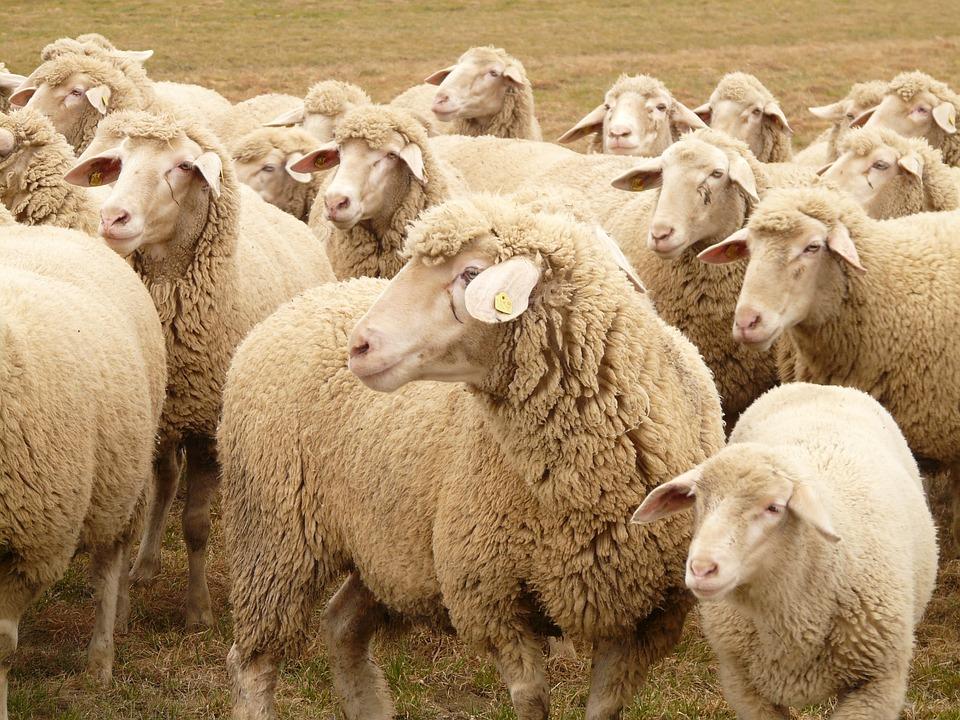 Kostenloses Foto: Schafherde, Schafe, Herde - Kostenloses Bild auf ... | {Herde 77}