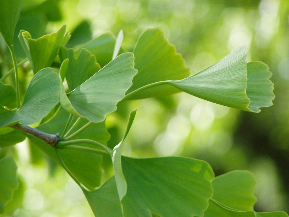 maidenhair tree, Ginkgo Tree, Gingko Tree, Ginko Tree (Ginkgo ...
