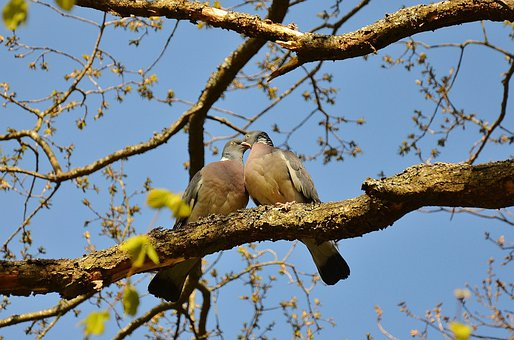 Pigeons, Couple, Pair, Twosome, Birds