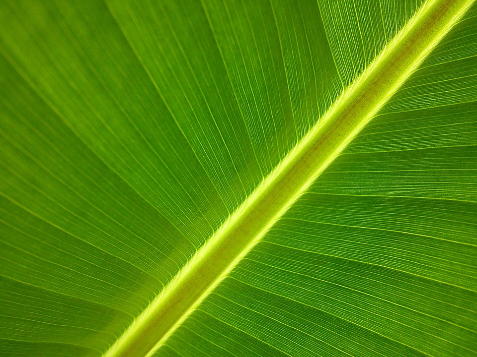 Free Photo: Banana Tree, Garden, Leaf