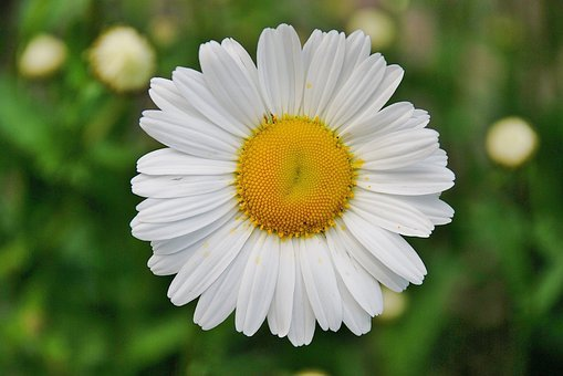 daisy  free images on pixabay, Natural flower