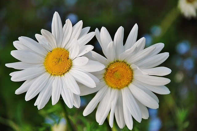 Daisy daisies floral free photo on pixabay for Immagini natura gratis