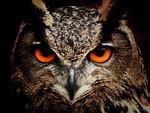sowa, ptak, oczy