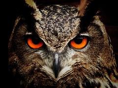 Owl, Bird, Eyes, Eagle Owl, Birds