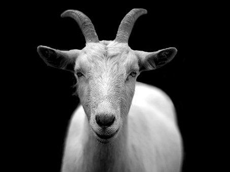 Cabra, Animales, Cuernos, Blanco Y Negro
