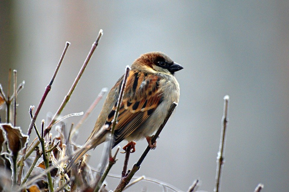 A Songbird, the Common Sparrow by hellinger14