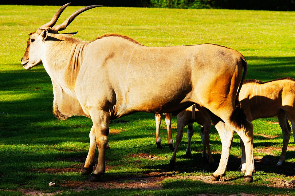 Common eland videos photos and facts  Tragelaphus oryx