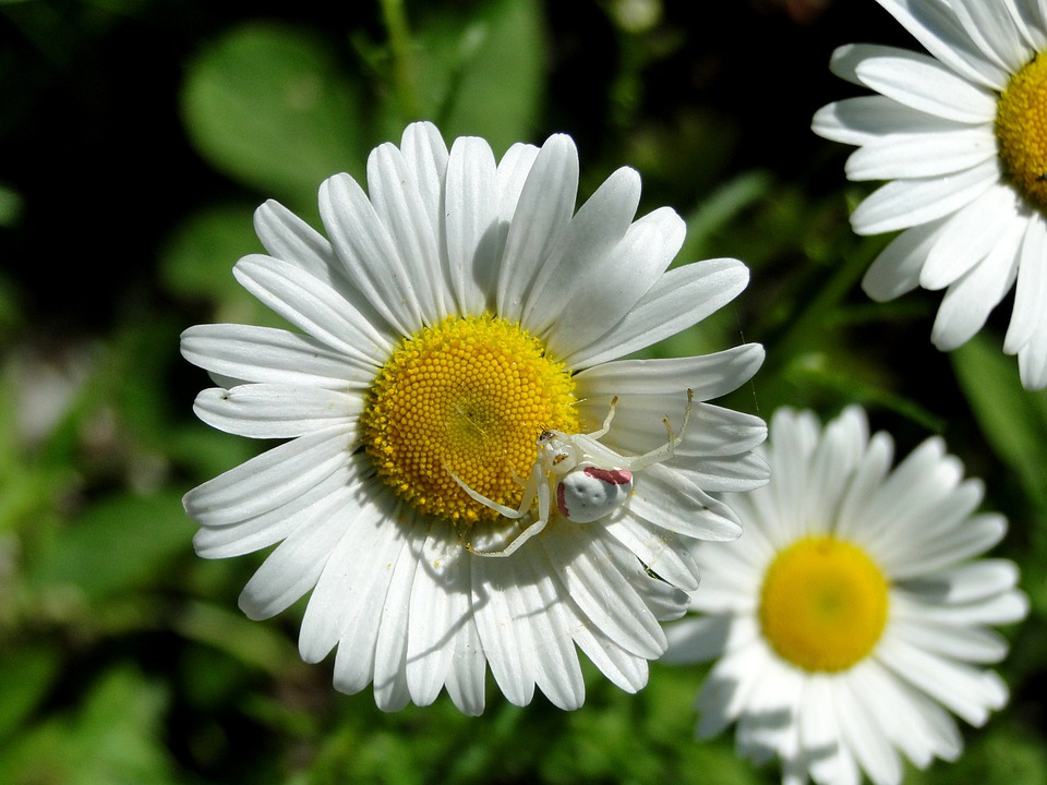 Daisy spider crab free photo on pixabay daisy spider crab spider flowers wildflower insect mightylinksfo