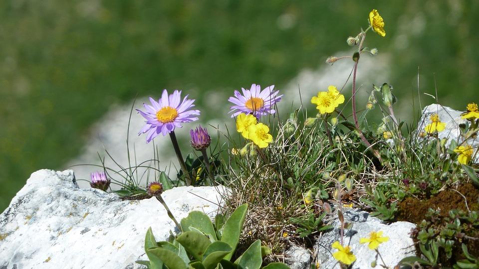 Foto gratis fiori primavera fiori di montagna for Fiori di primavera
