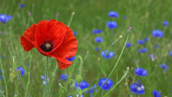 Poppy, Blossom, Bloom, Nature, Field