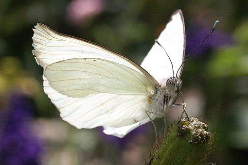 Mariposa, Blanco, Naturaleza, Flor