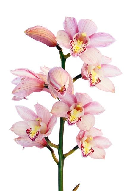 orchid flowers plant free photo on pixabay. Black Bedroom Furniture Sets. Home Design Ideas