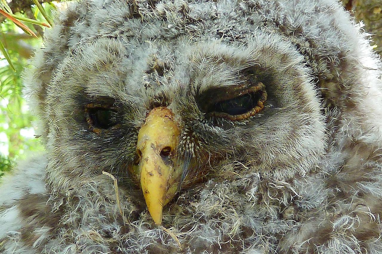 этом лысая сова картинки очень