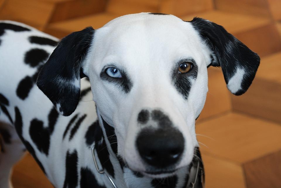kostenloses foto tiere hund dalmatiner kostenloses. Black Bedroom Furniture Sets. Home Design Ideas