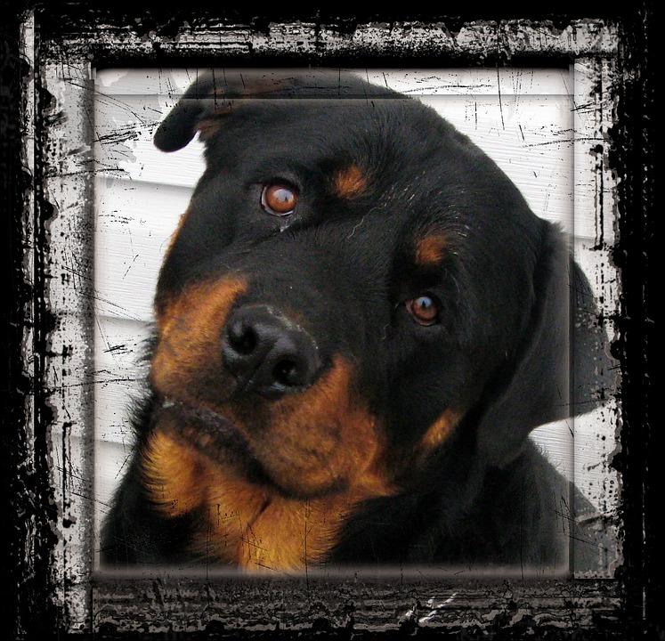 Rottweiler Perro Animales · Foto gratis en Pixabay