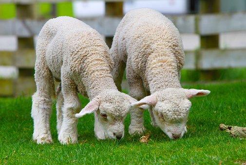 羊, ラム, ニュージーランド, 田舎, 北島, 動物, 野生動物, 野生