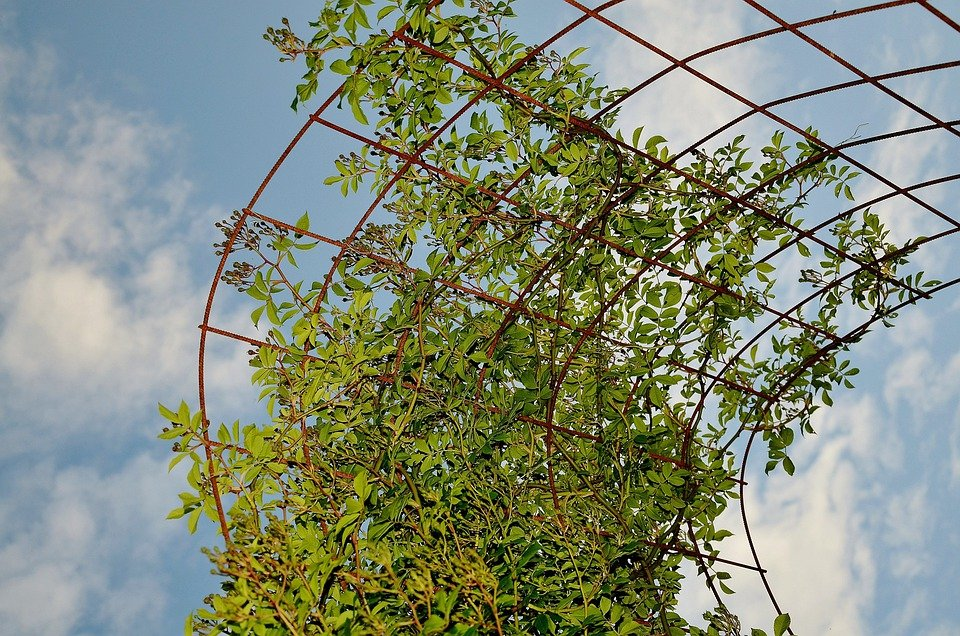 free photo climbers, vines, plant, trellis  free image on, Natural flower
