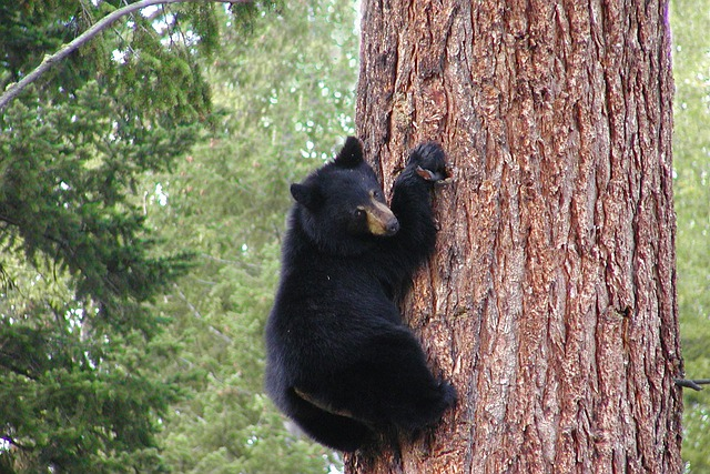 Free Photo Bear Black Grizzly Climbing Free Image On