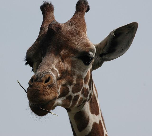 Photo gratuite girafe t te ours des animaux image gratuite sur pixabay 51345 - Image animaux gratuite ...