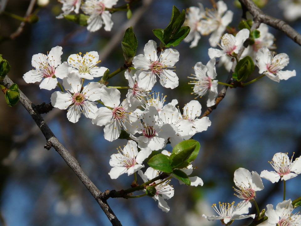 Prunier Sauvage Fleur Arbre Une Photo Gratuite Sur Pixabay