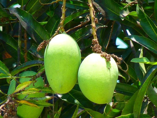 free photo mango  green mango  fruit  tree free image vine vector black and white vine vector border