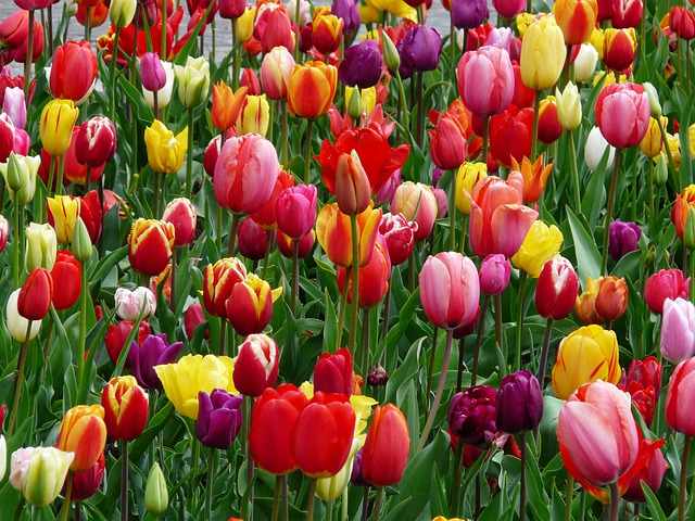 Free Photo Tulips Tulip Bed Colorful Color Free