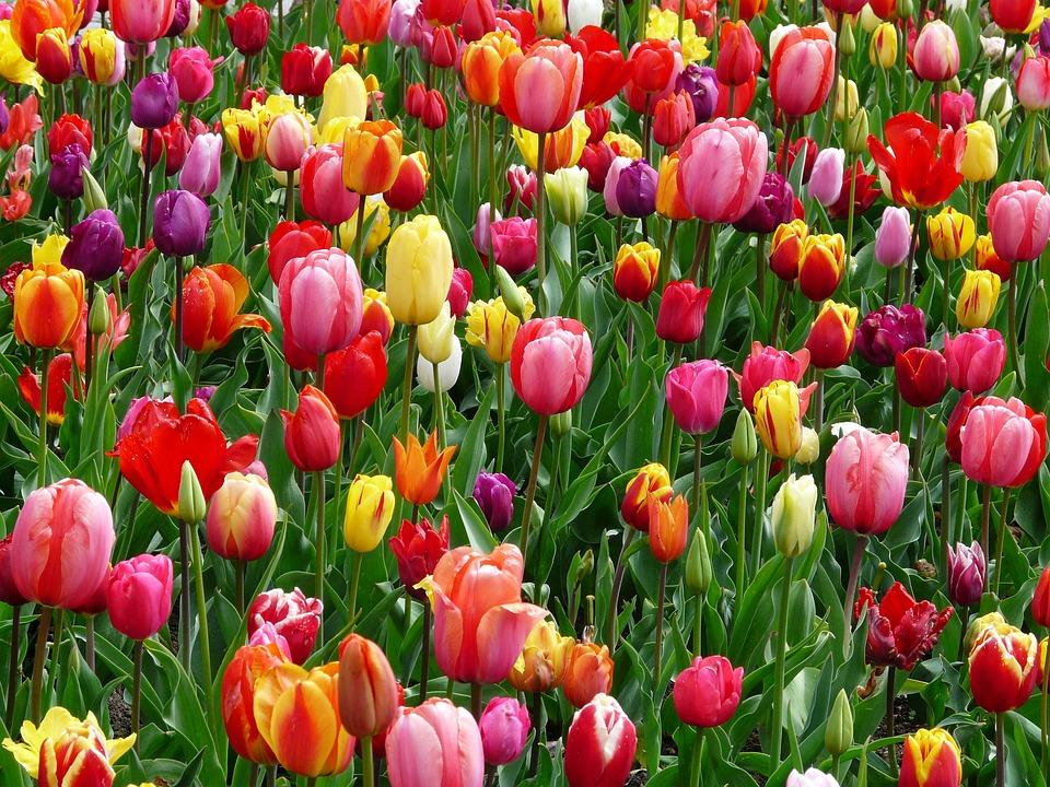 Tulipes, Fleurs, Abondance De Fleurs, Lit, Coloré, abondance, gratitude