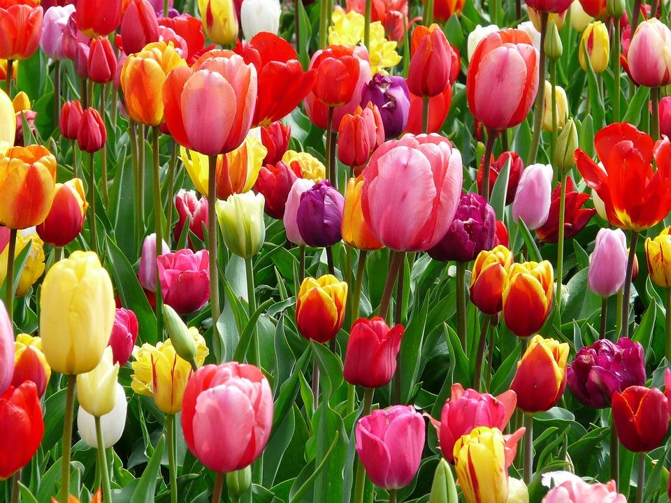 kostenloses foto tulpen tulpe beet bunt farben kostenloses bild auf pixabay 52126. Black Bedroom Furniture Sets. Home Design Ideas