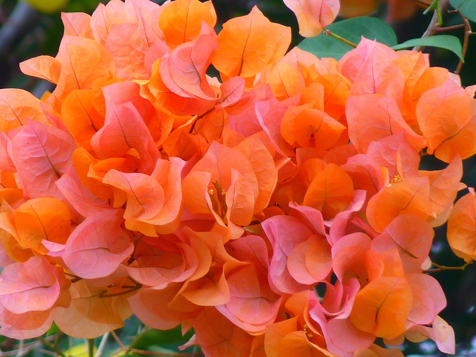 bouganville bougainvillea flower 183 free photo on pixabay