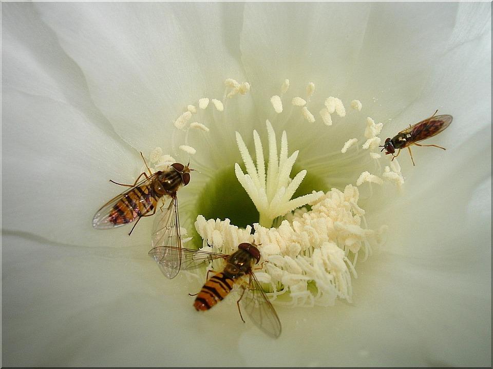 Kaktusblüte Schwebfliegen Blühen · Kostenloses Foto auf Pixabay