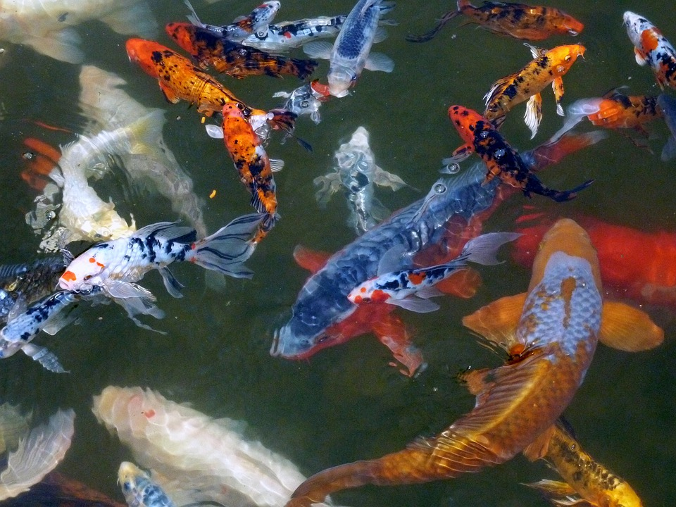 Free photo koi carp fish pond water free image on for Koi carp fish pond