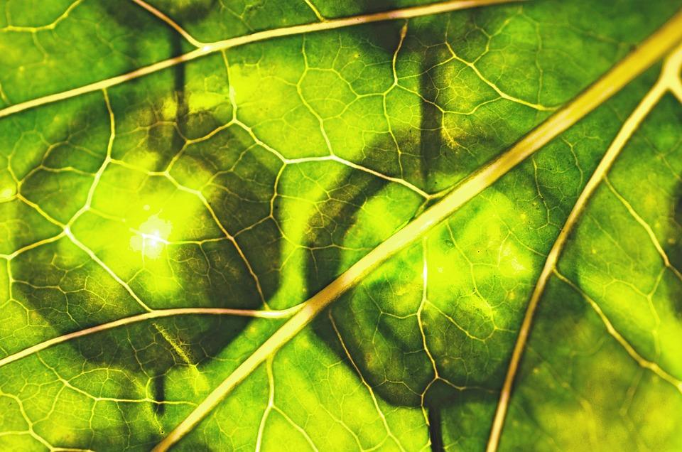 Foglia, Verde, Durchleuchted, Clorofilla, Palle