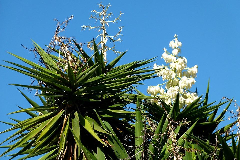 Agave Blüte
