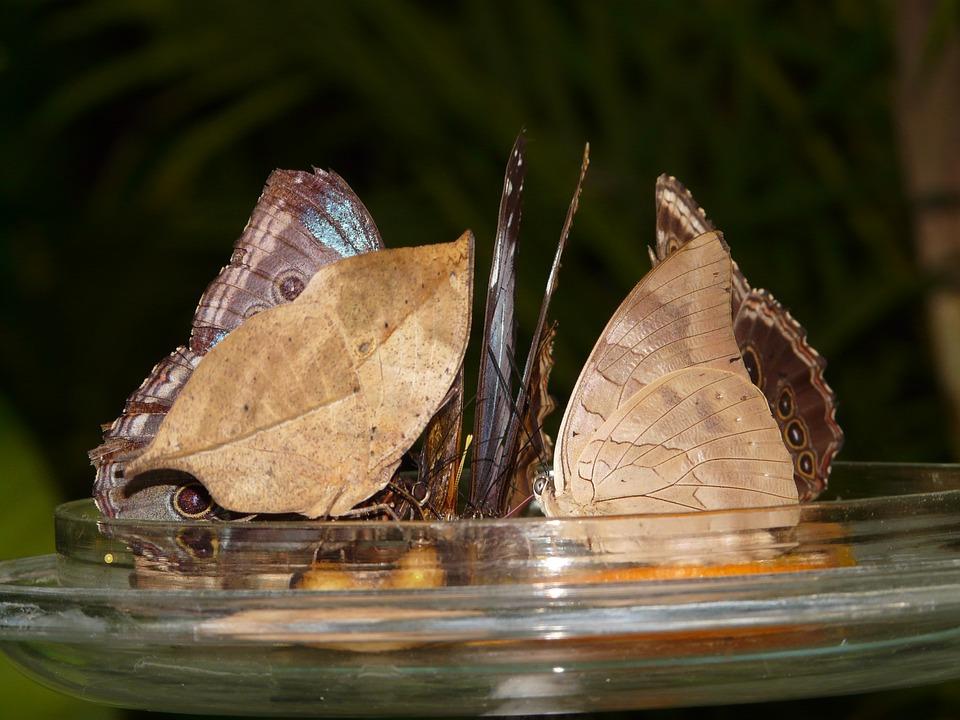 Schmetterlinge Zuckerwasser Kostenloses Foto Auf Pixabay