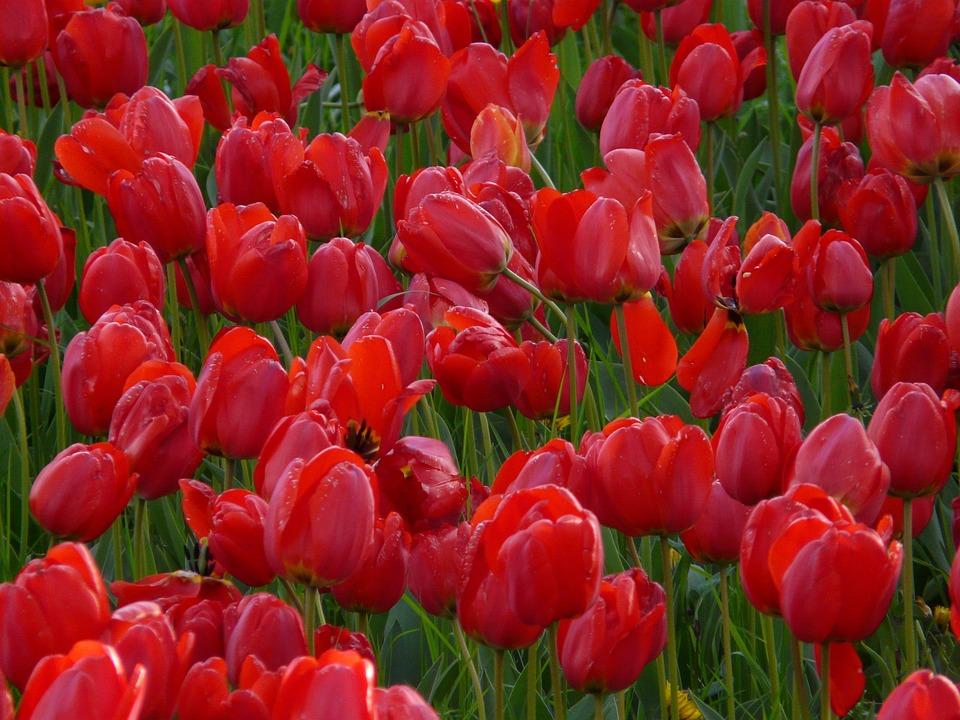 Photo Gratuite Champ De Tulipes Tulipes Rouge Image