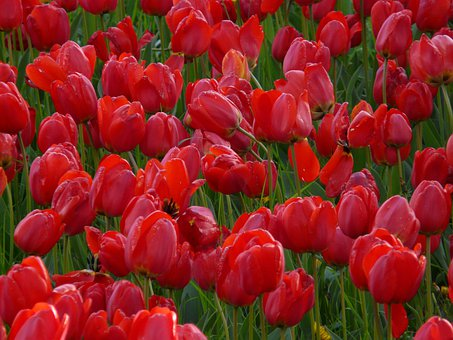 Champ De Tulipes, Tulipes, Rouge, Fermée