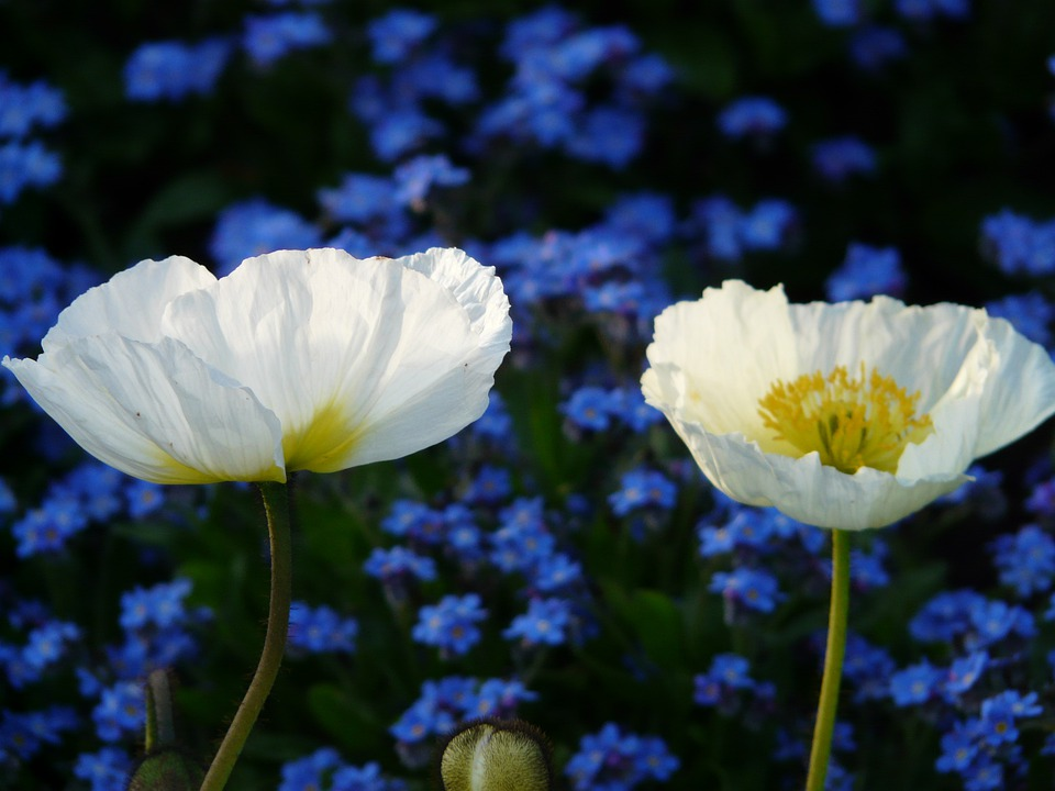 White Poppy Images · Pixabay · Download Free Pictures