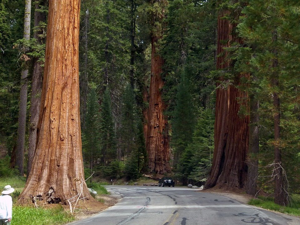sequoia national park single women You could strain your neck trying to see the top of general sherman, the world's  largest living single stem tree, at sequoia national park, but.