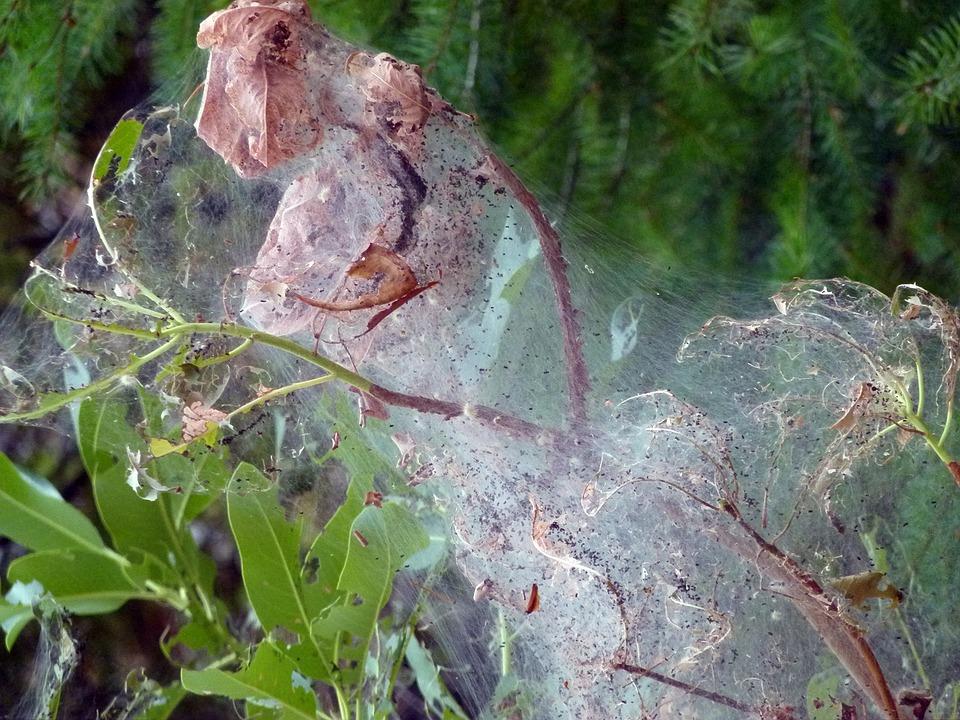 free photo spider webs covered tree cobweb free image on pixabay 53187. Black Bedroom Furniture Sets. Home Design Ideas