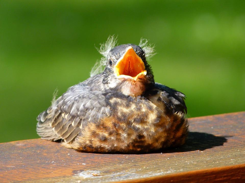 red robin bird animal free photo on pixabay