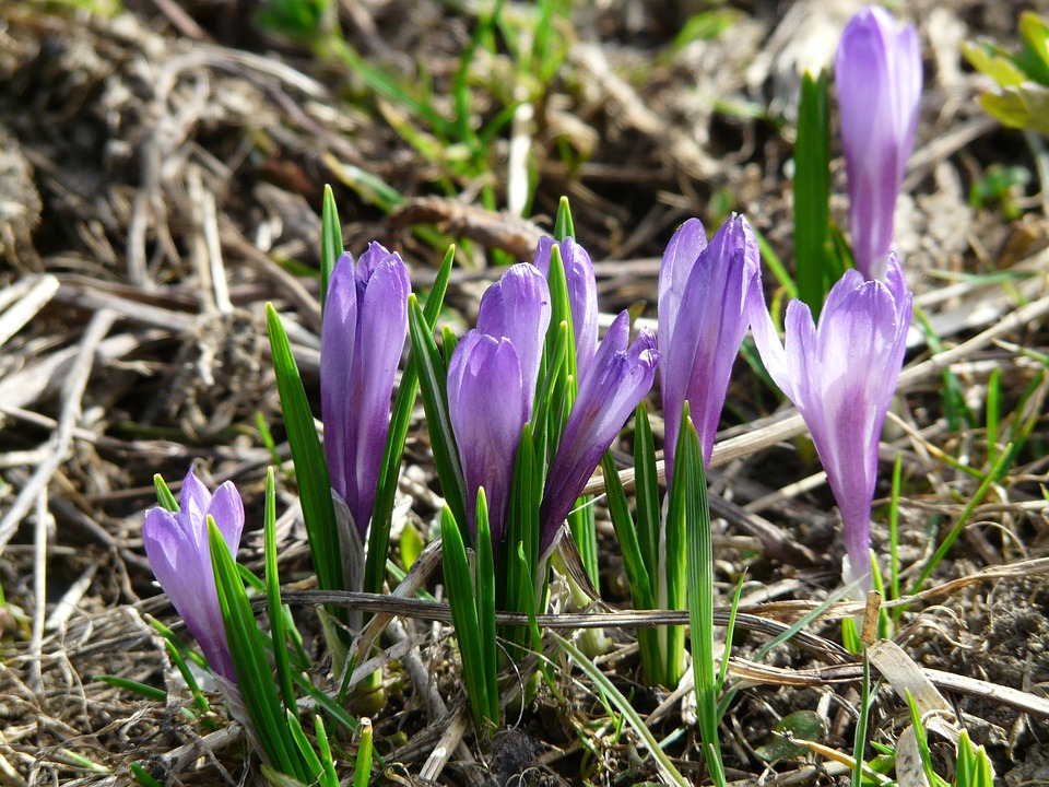 Atemberaubend Frühlings-Krokus Krokus Blau - Kostenloses Foto auf Pixabay @YW_04