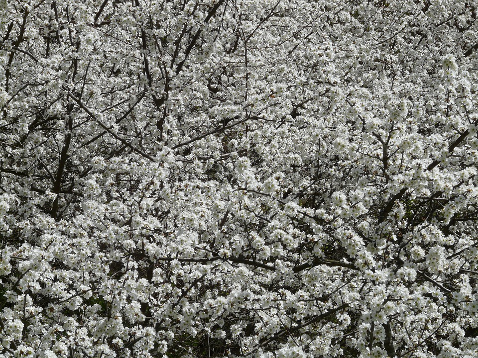 Blackthorn, Prunus Spinosa, Haie, Schlehendorn