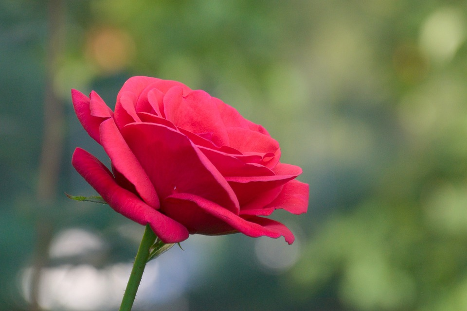 Beautiful Single Red Rose Flower Isolated Royalty Free: Flower Rose Red · Free Photo On Pixabay