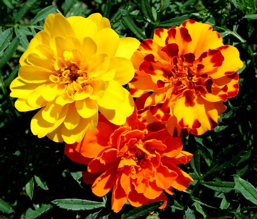 マリーゴールド, 花, 黄色, オレンジ, さび, 花柄, カラフルです