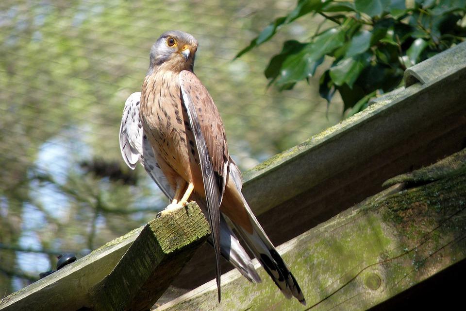 Foto gratis: Falcon, Burung, Griffin, Hewan Liar - Gambar gratis di Pixabay - 54519