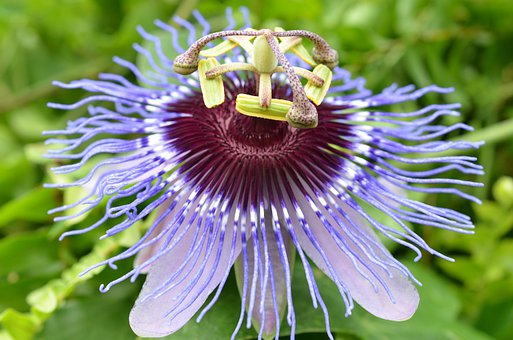 Blossom, Bloom, Passion Flower, Bloom
